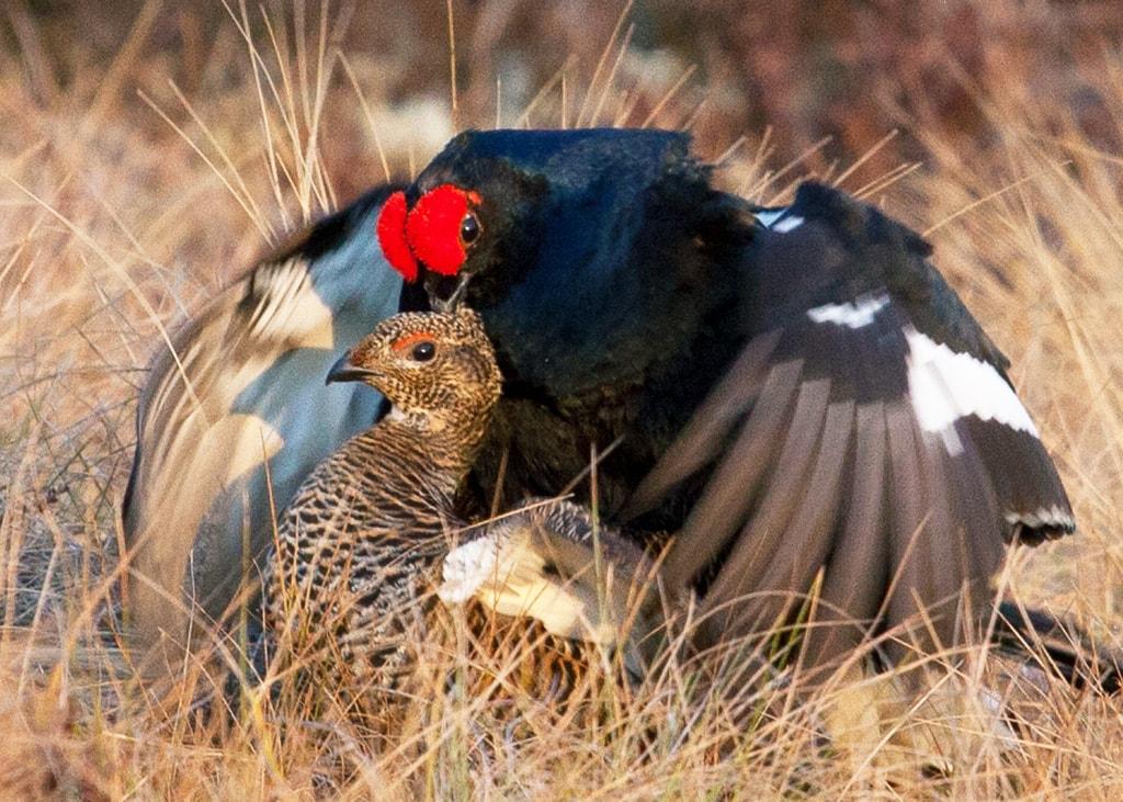 того, тетерев фото птицы самка и самец сварные соединения ослабляют